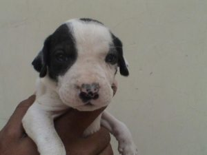 Bully-Kutta-Puppy-Images