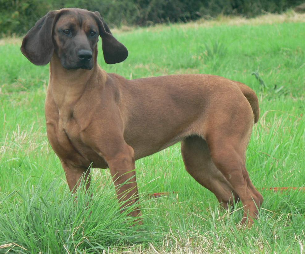 Bavarian-Mountain-Hound-Pictures