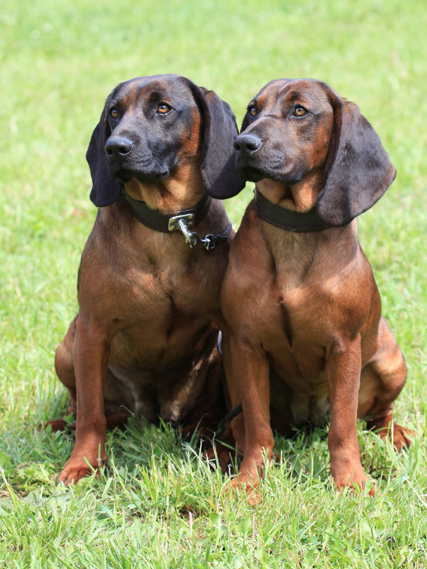 Bavarian-Mountain-Hounds
