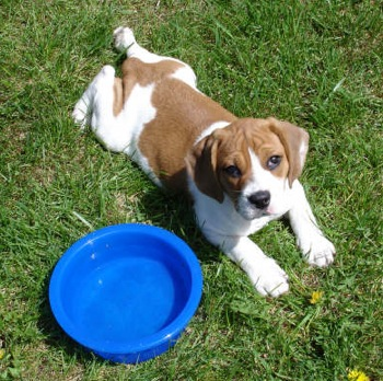 Beabull-Puppy-Images