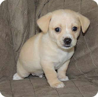 Beagle-Cocker-Spaniel-Mix-Puppy-Images