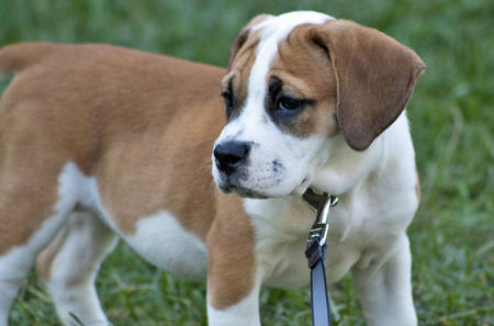 Beagle-X-Bulldog-Mix-Puppy