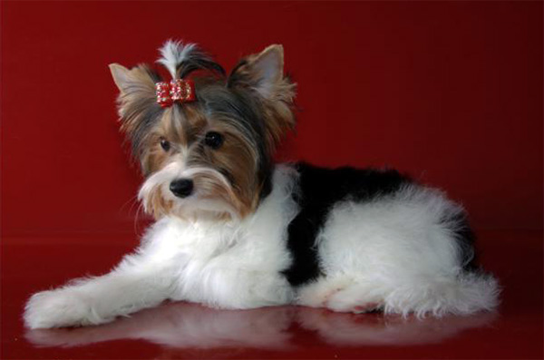 Biewer Terrier Dog Breed Information And Pictures Dogs