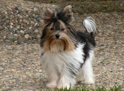 Biewer Terrier Dog Breed Information and Pictures - Dogs