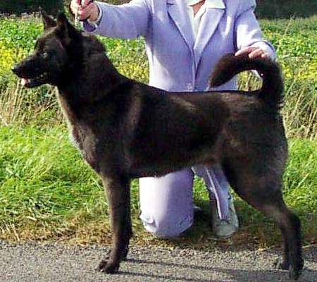 Black-Canaan-Dog