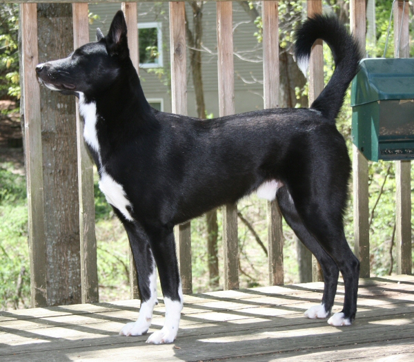 Black-and-White-Canaan-Dog