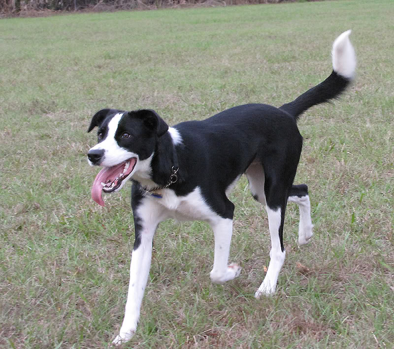 Border-Collie-Beagle-Mix