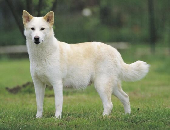 Canaan-Dog-Images