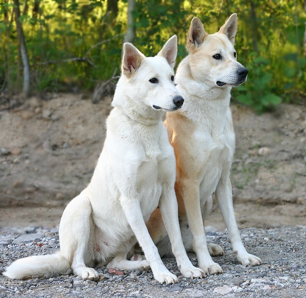 Canaan-Dog-Pictures