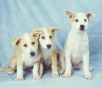 Canaan-Dog-Puppies