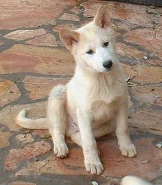 Canaan-Dog-Puppy-Images
