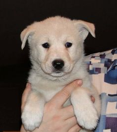 Canaan-Dog-Puppy-Pictures