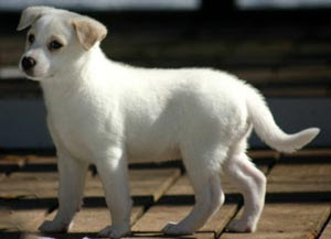 Canaan-Dog-Puppy