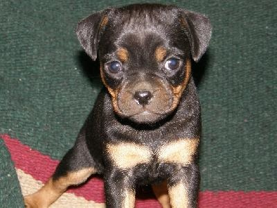 Carlin-Pinscher-Puppy