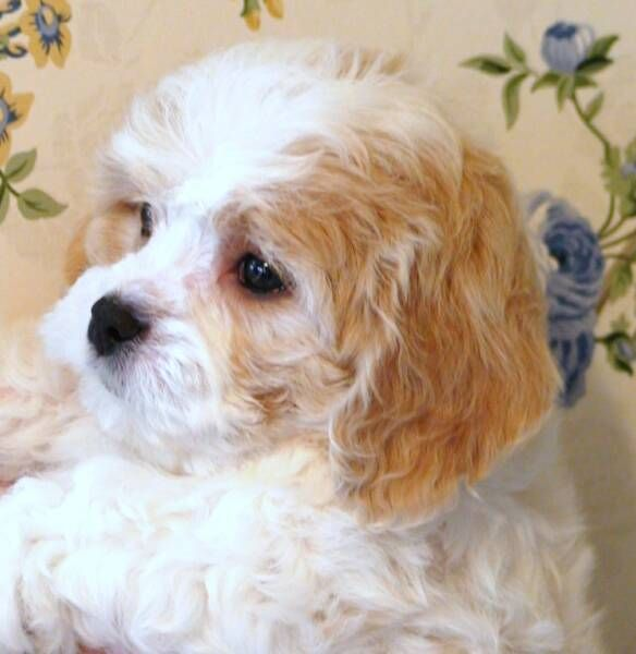 Cavachon Dog Breed All Information And Pictures - Dogs Breed Usa