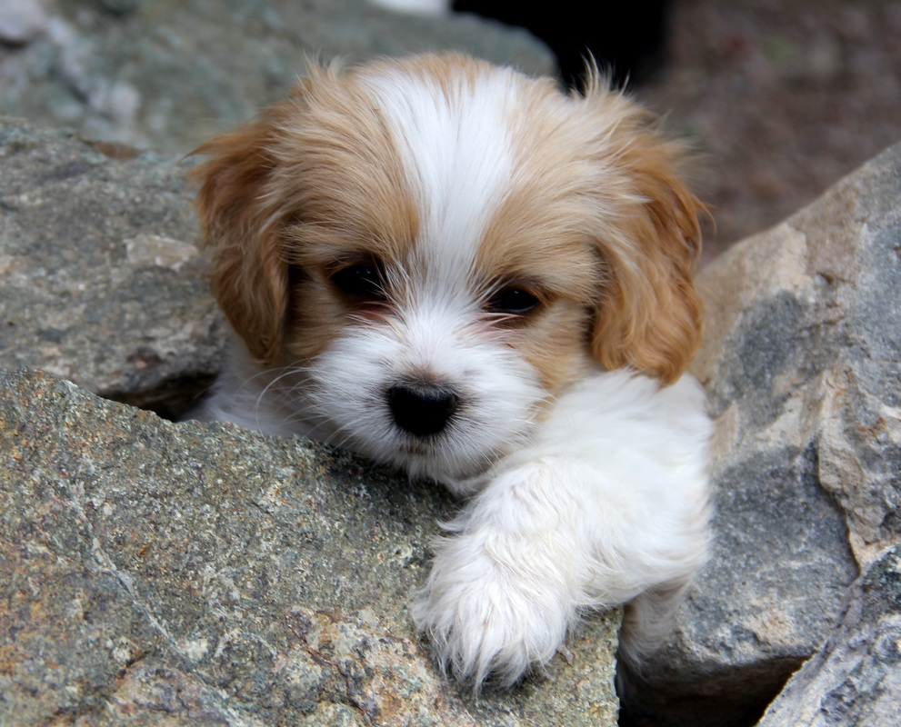 Cavachon-Puppies