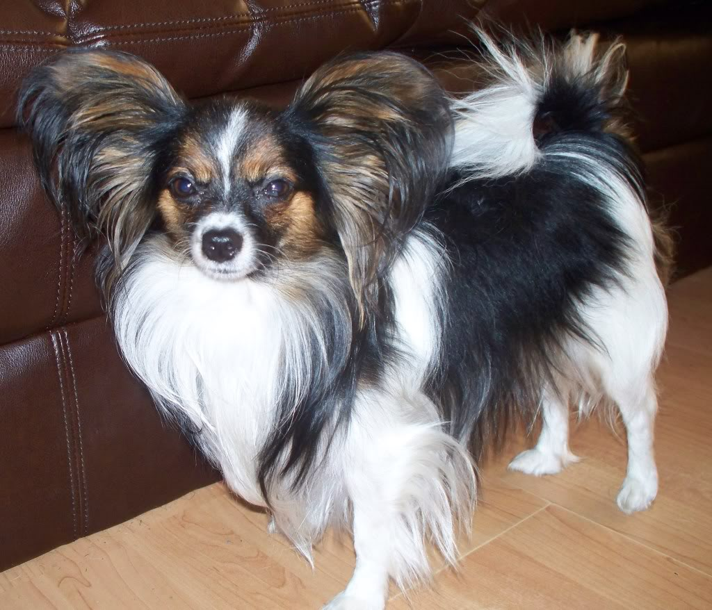Chihuahua-and-Papillon-Mix