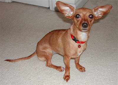 Chiweenie-Pictures