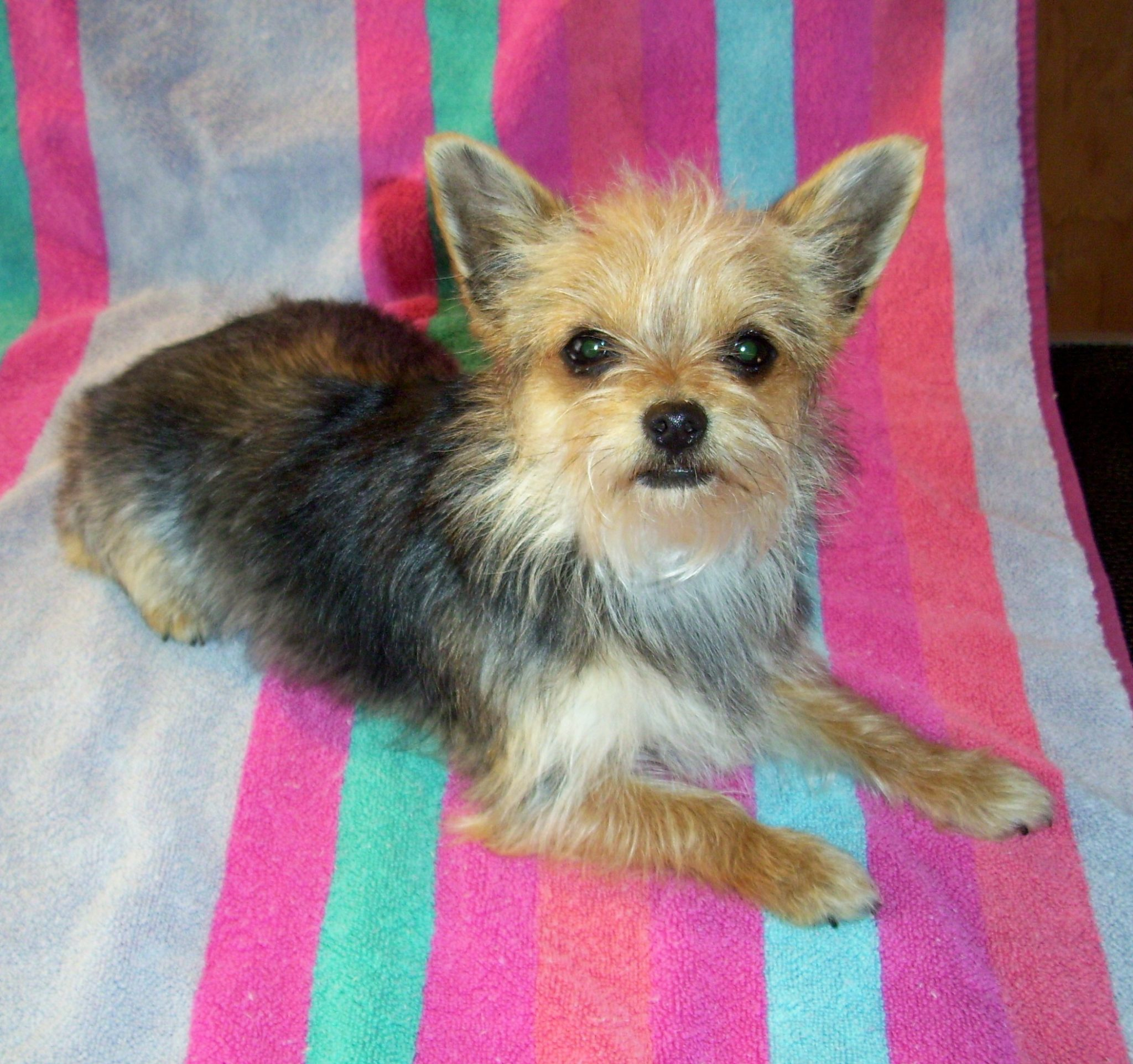 Chorkie-Dog-Picture