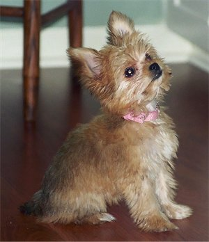 Chorkie-Pictures