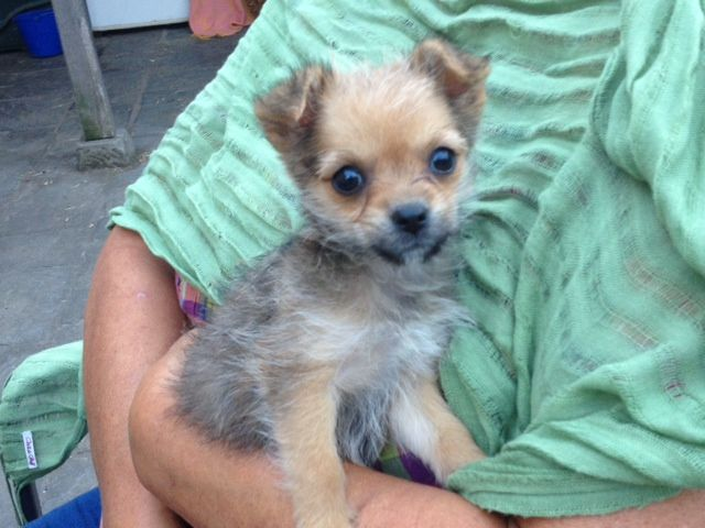 Chorkie-Puppy-Images