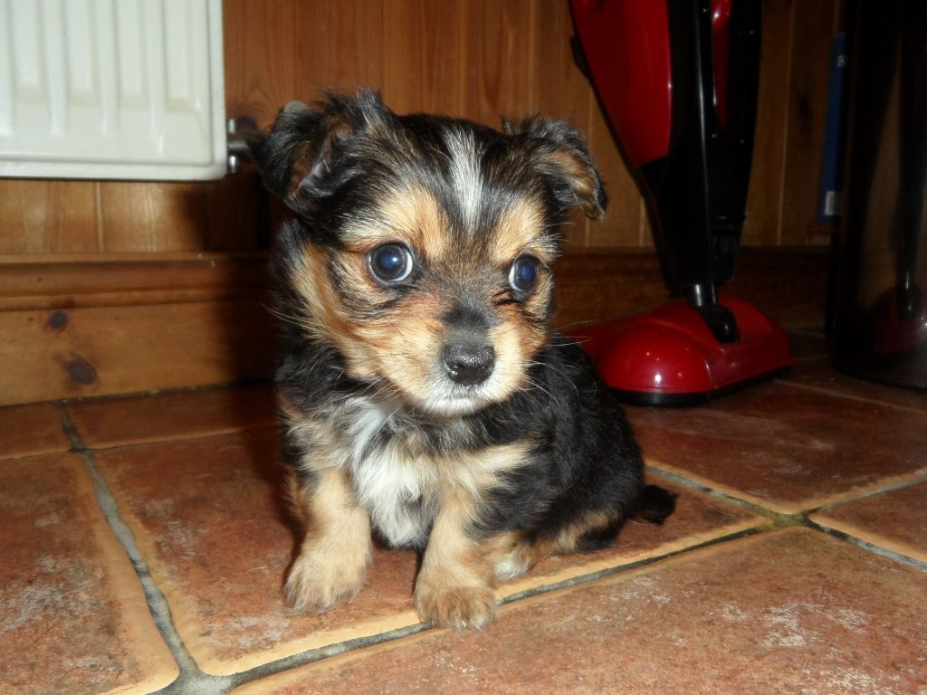 Chorkie-Puppy-Pictures