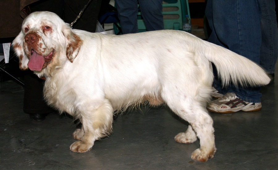 Clumber-Spaniel-Images