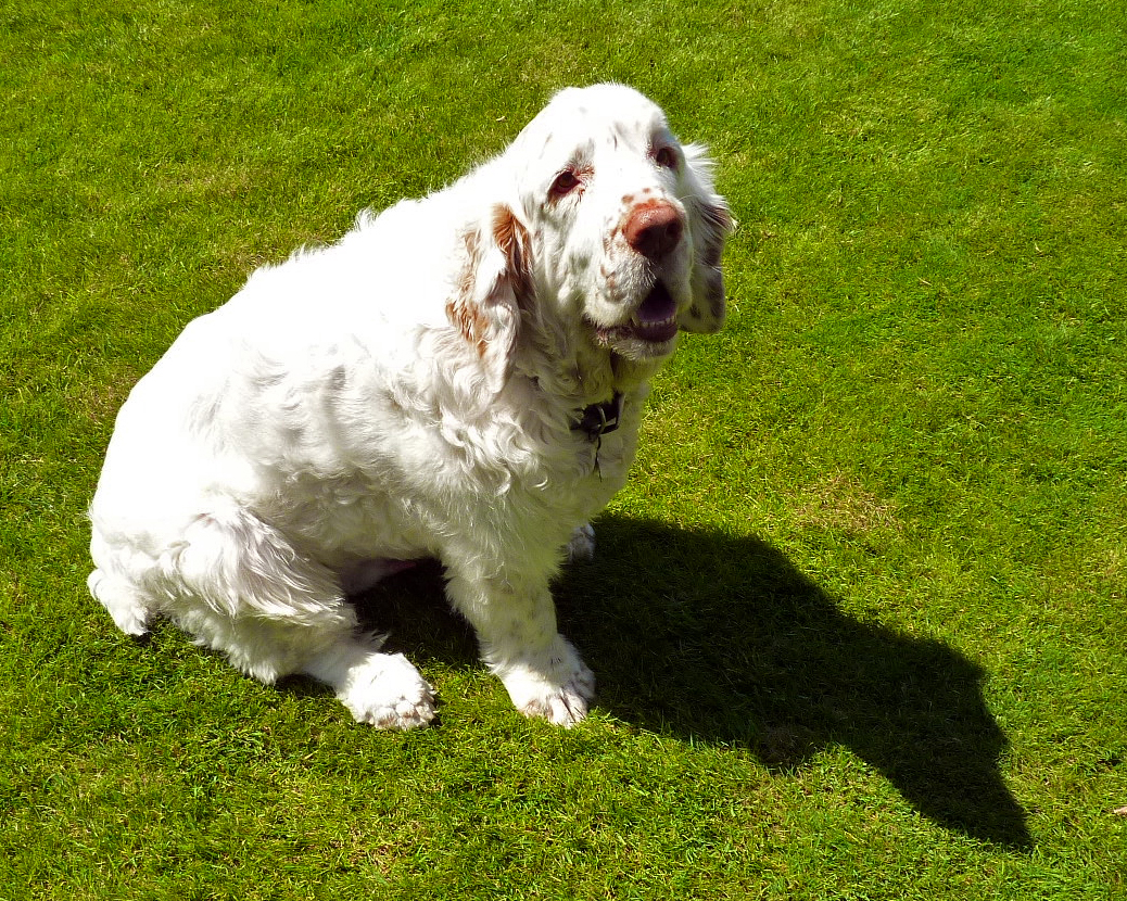 Clumber-Spaniel-Pictures