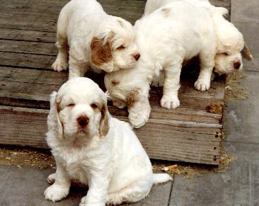 Clumber-Spaniel-Puppies