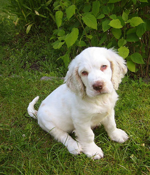 Clumber-Spaniel-Puppy-Pictures