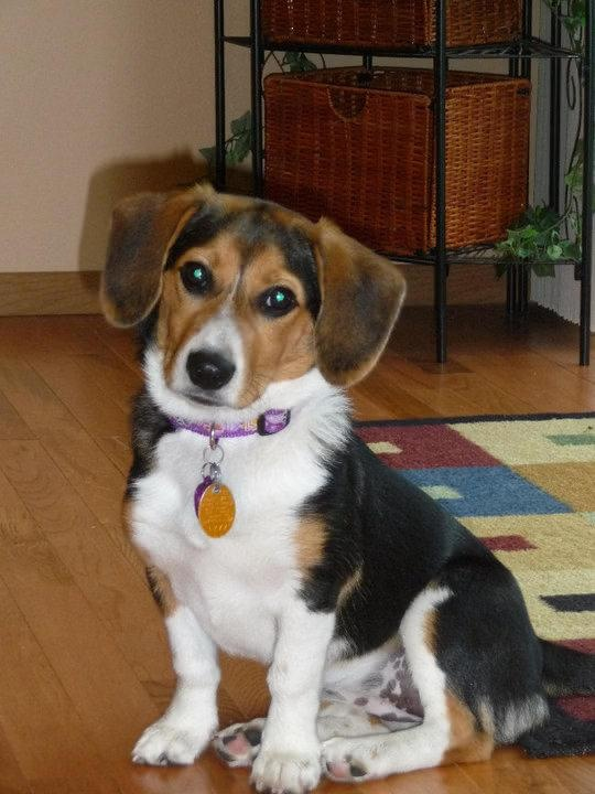 Corgi-Beagle-Mix-Pictures