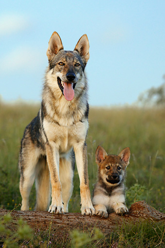 Czechoslovakian-Wolfdog-Puppy-Photos