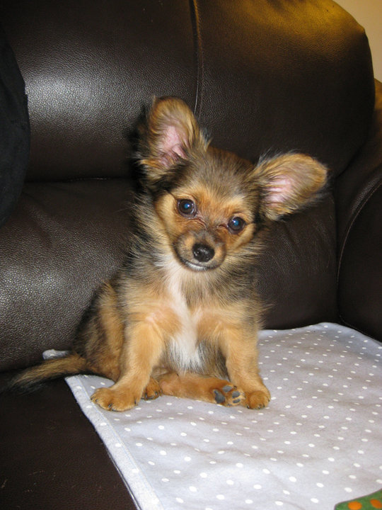 Full-Grown-Chorkie