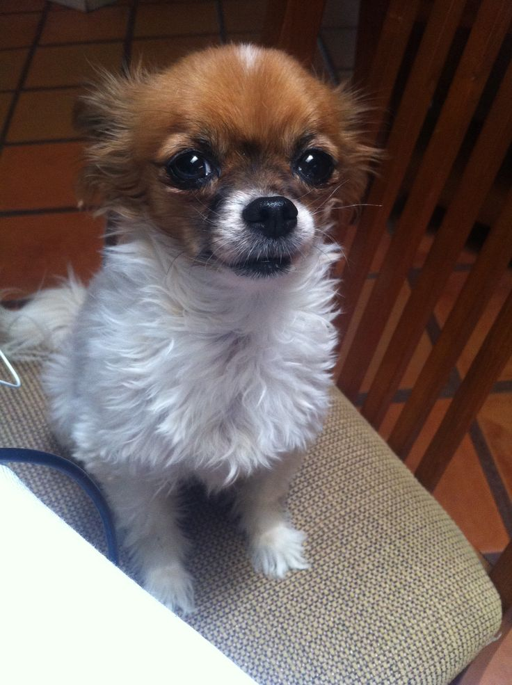 Papillon-Chihuahua-Mix-Puppy-Pictures