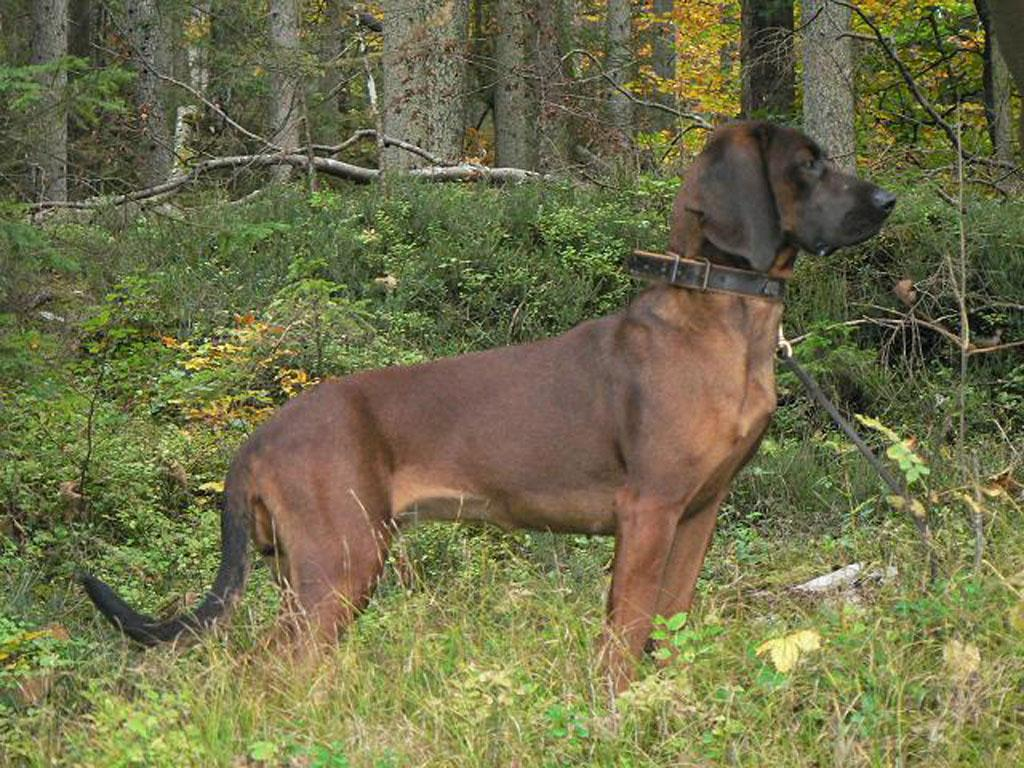 Pictures-of-Bavarian-Mountain-Hound