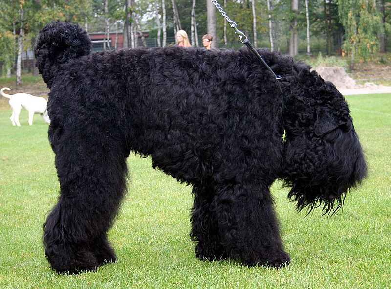 The-Black-Russian-Terrier