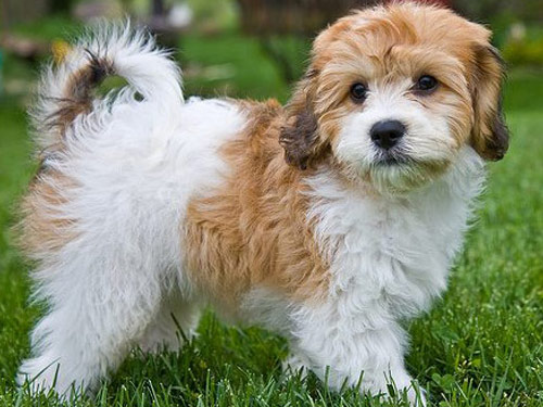 Tri-Color-Cavachon