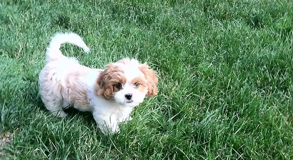 shih tzu cavalier mix cava tzu dog breed information and picture dogs breed usa 5853