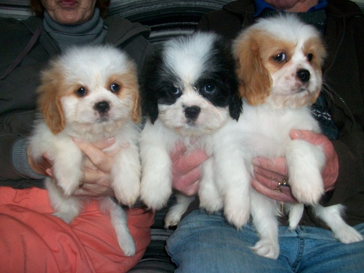 Cavalier-King-Charles-Spaniel-Shih-Tzu-Mix-Puppies