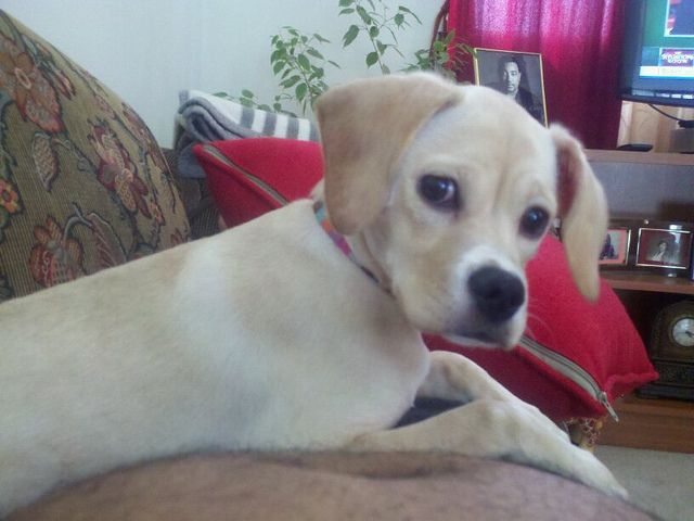 Chihuahua-and-Beagle-Mix