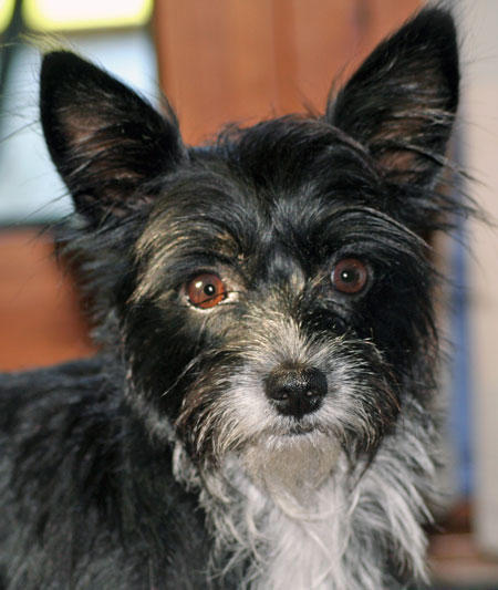 Schnauzer-Chihuahua-Mix-Pictures