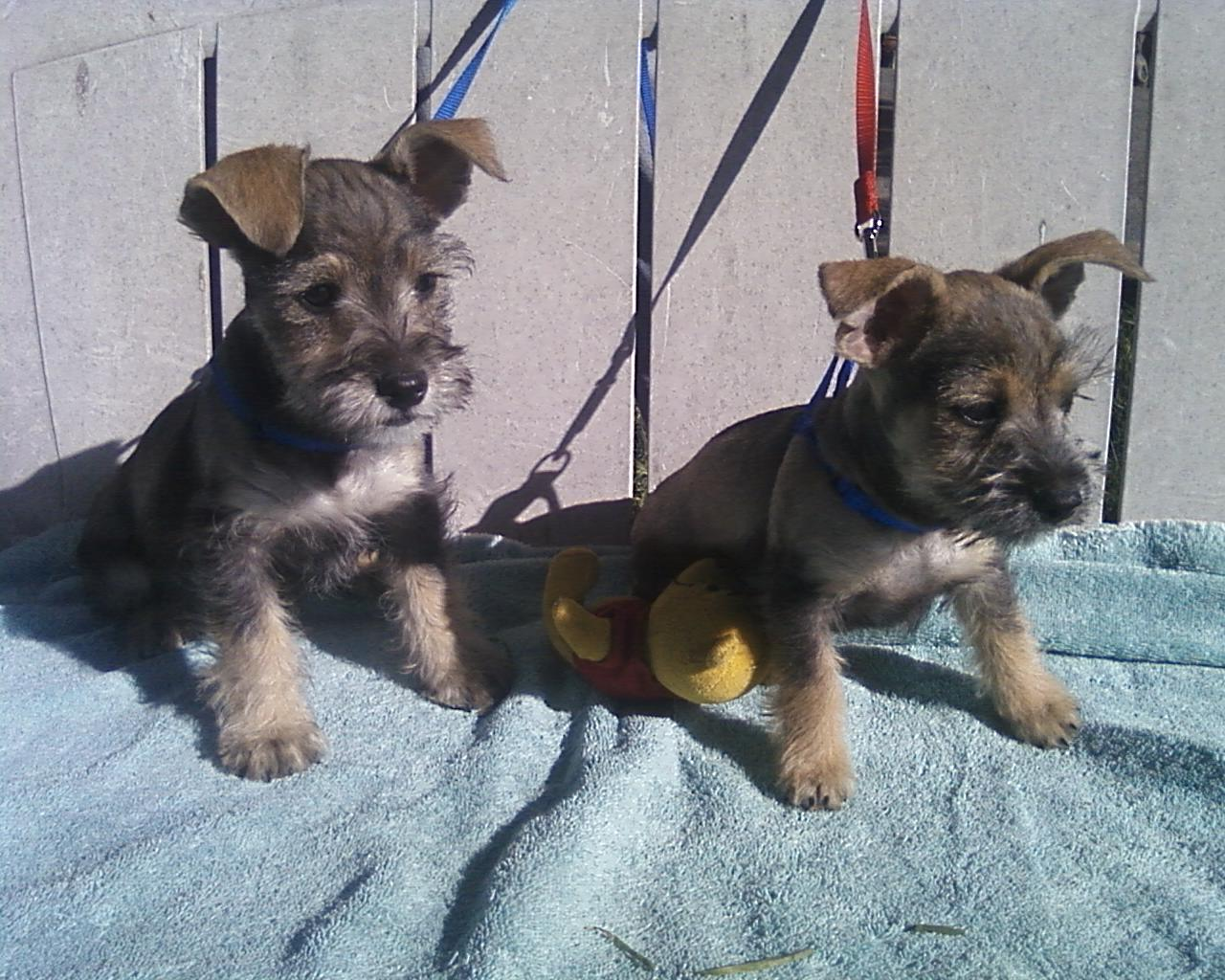 Schnauzer-Chihuahua-Mix-Puppies