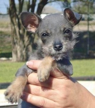 Schnauzer-Chihuahua-Mix-Puppy-Pictures