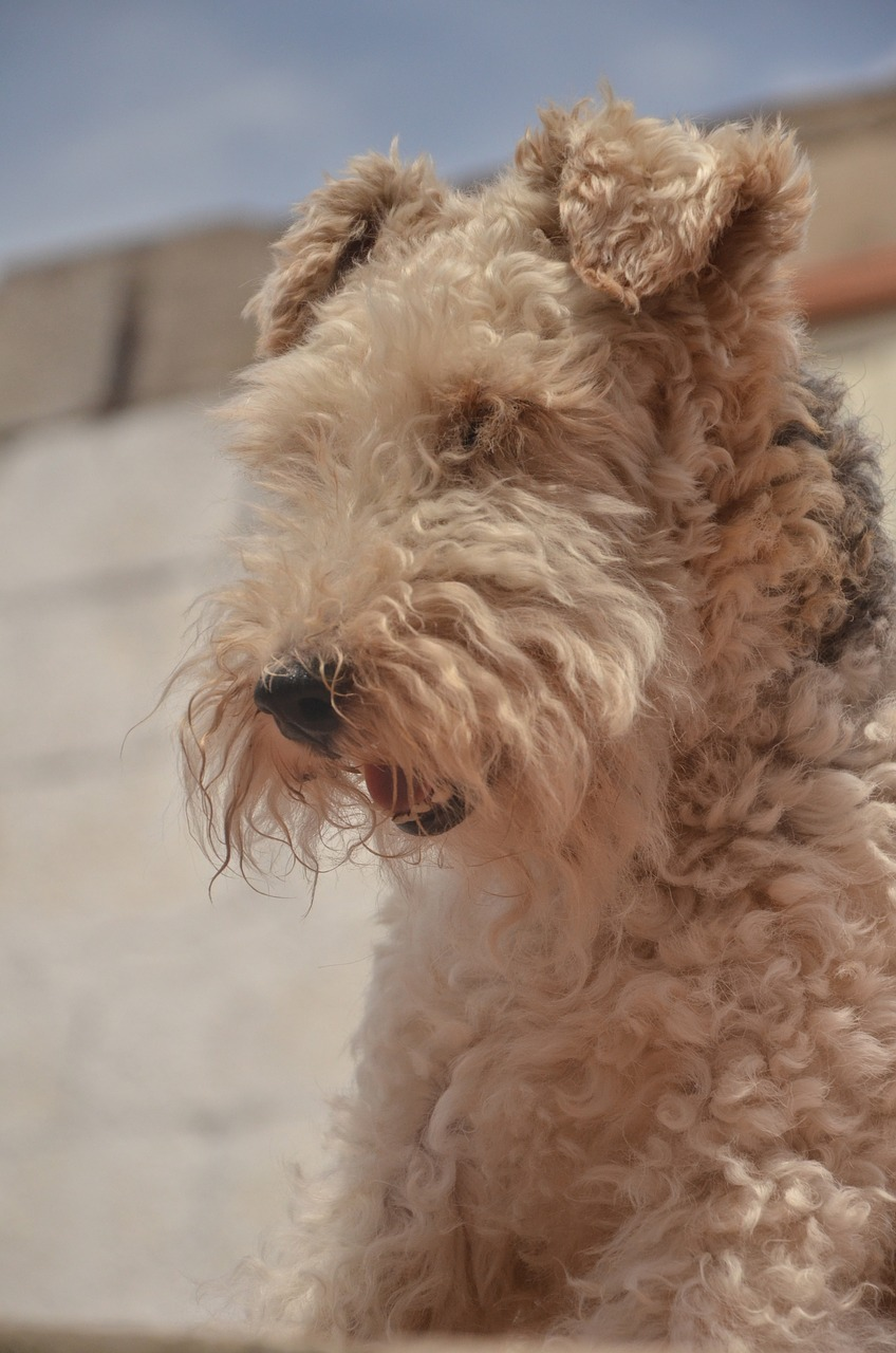 Airedale, Terrier