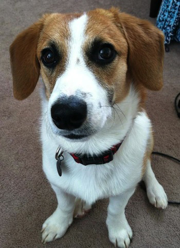 Corgi-and-Beagle-Mix