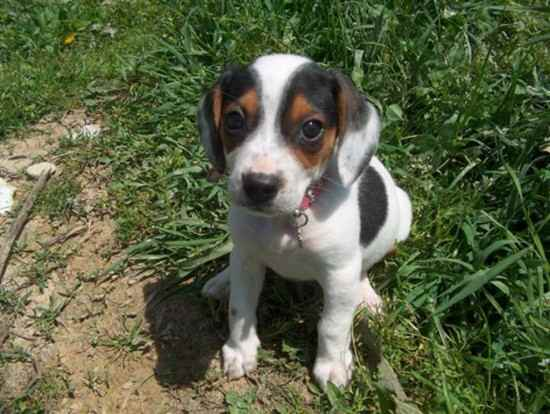 Doxle-Puppy-Images
