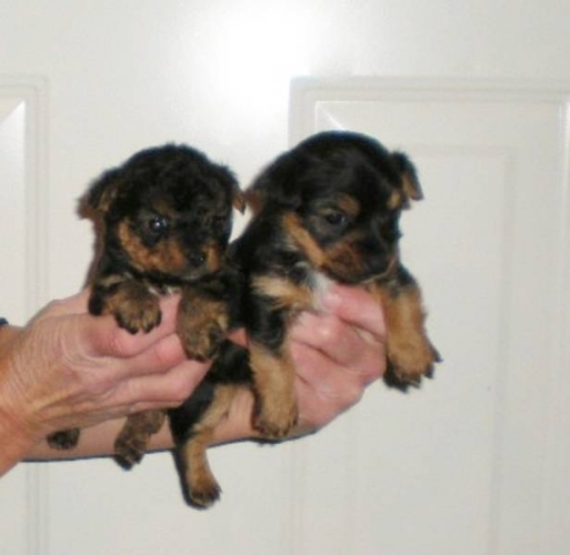 yorkie russell puppies