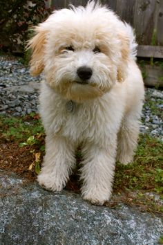 Whoodle-Puppy-Images