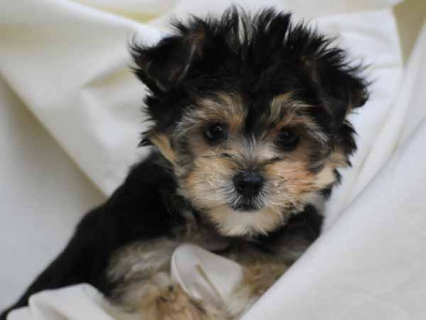 pictures of bichon and yorkie mix