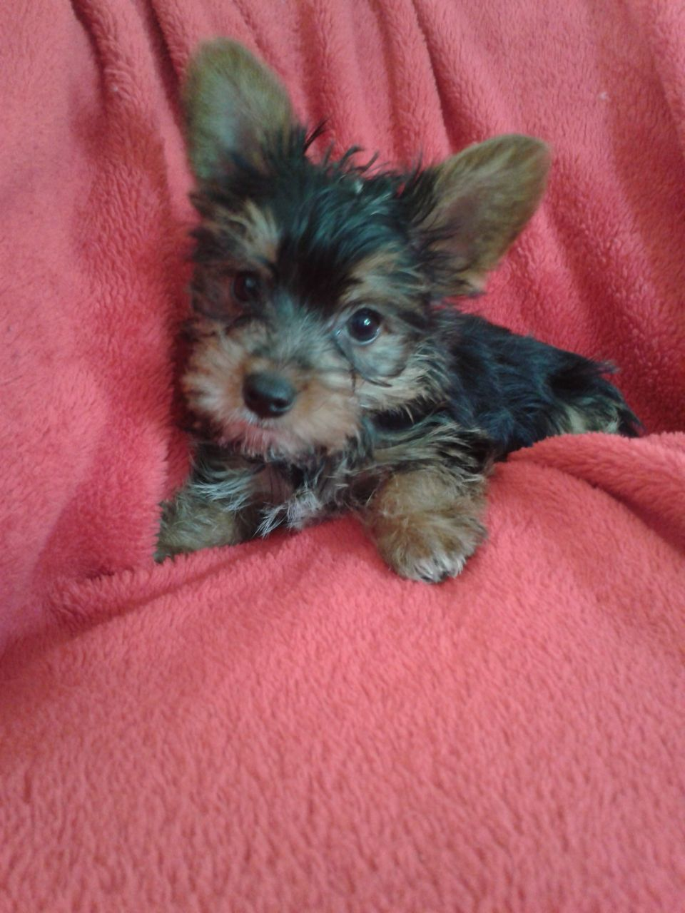 Yorkie-Jack-Russell-Mix-Puppies
